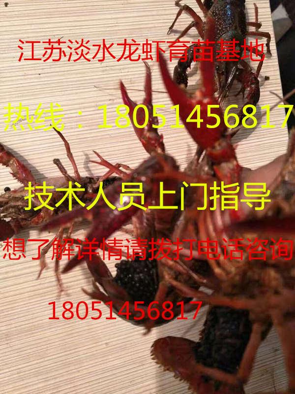 新闻:县小龙虾苗怎么买√欢迎您