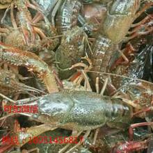 龙虾苗)湖南益阳小龙虾虾苗(价格优惠)图片