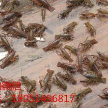 广州萝岗一亩地投放多少斤龙虾图片