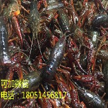 龙虾苗)湖南郴州龙虾虾苗(价格优惠)图片