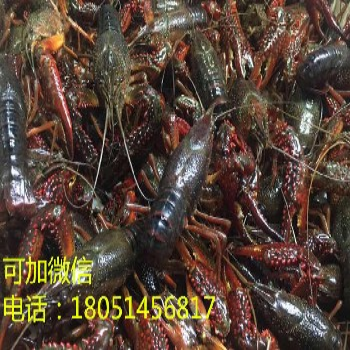 南阳西峡求购淡水龙虾苗/淡水虾苗