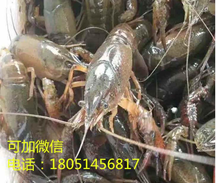 长治种虾价格/淡水虾苗