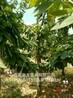 3公分矮化樱桃树、4公分5公分品种樱桃树价格