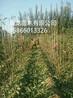 俄罗斯八号樱桃苗、俄罗斯8号樱桃树价格