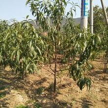 中油八号桃树苗供应中油八号桃树苗剪枝技术图片