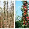 矮化苹果苗厂家批发、矮化苹果苗品种介绍