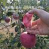 7公分红肉苹果树生产厂家、7公分红肉苹果树品种介绍
