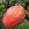 梨树小苗特征特性