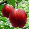 3公分秋月梨树苗批发