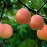 4公分夏玉梨树苗一亩地种多少棵