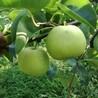 1公分红梨苗图片