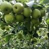 红巴梨树苗图片