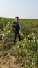 核桃树苗北京核桃树苗一亩地种多少棵