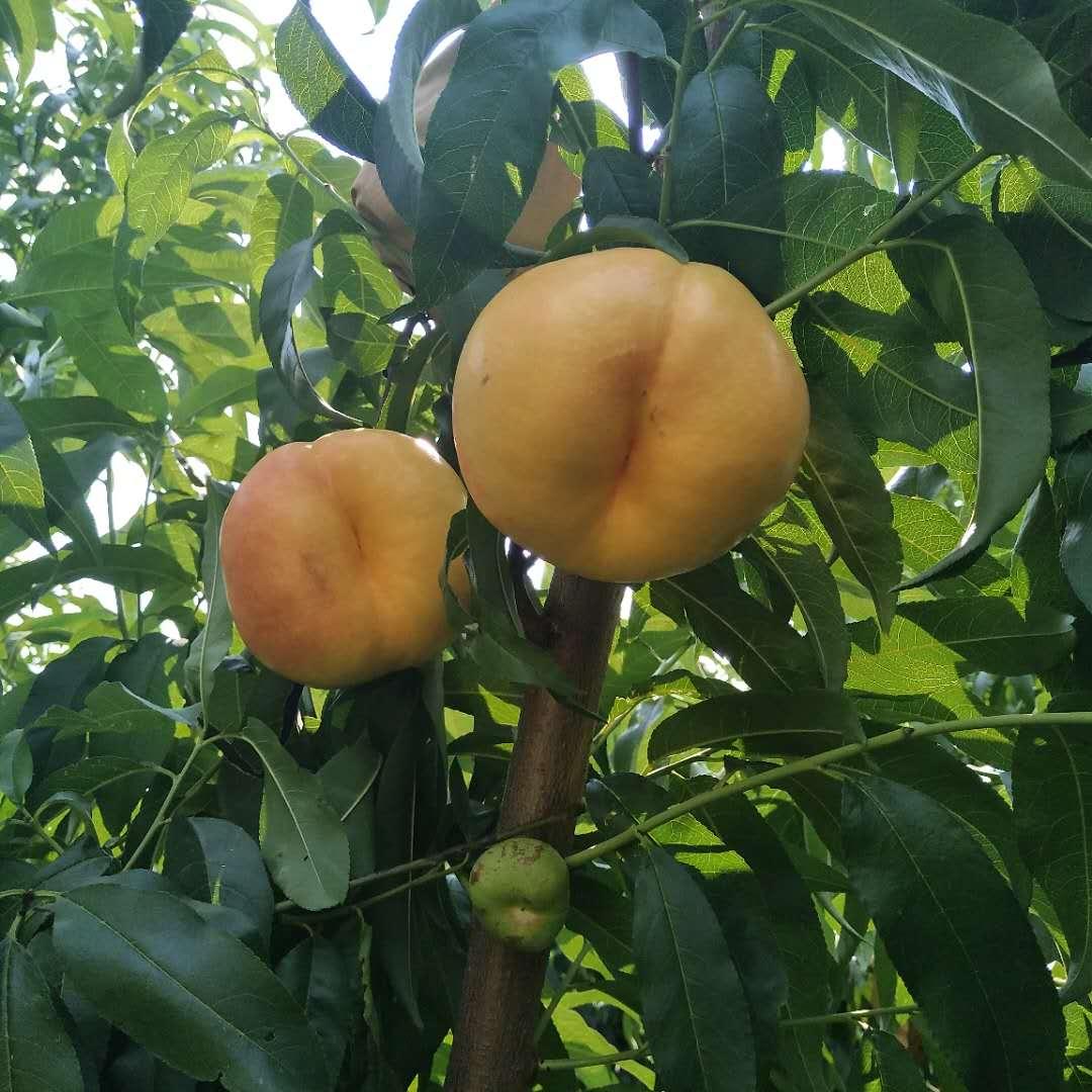 10公分突围桃树怎么辨别品种