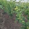 5公分秋红李子树单价多少钱一棵