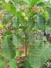 中林5号核桃苗甘肃核桃苗价格图片