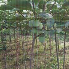 25公分柿子树适合大棚种植新品种图片