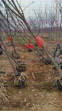 大秋甜柿苗授粉树的优秀品质图片