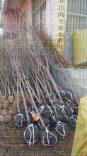 柿子树苗育苗基地图片
