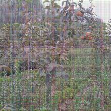 3公分柿子树苗几月份种植成活率高图片