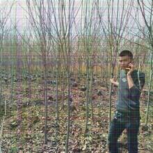 3公分黑柿子树厂家出售图片