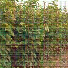 1公分甜柿树苗售后一条龙服务图片