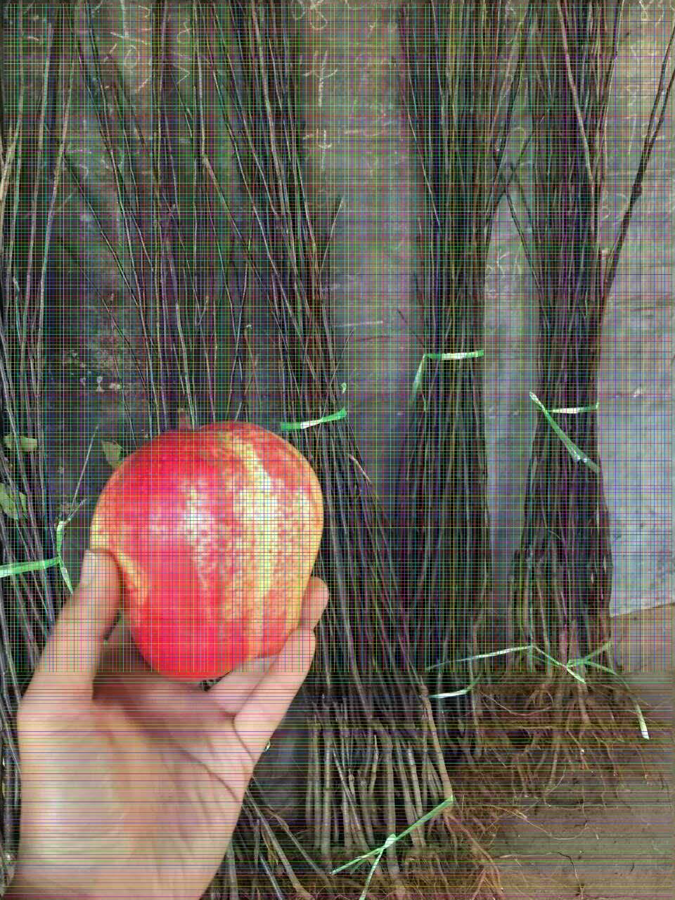 秋月梨树苗:果个大,平均单果重450g,大果可达1000g。果形端正,果实整齐度极高,商品果率高。果形为扁圆形,果形指数0.8左右。果皮黄红褐色,果色纯正;果肉白色,肉质酥脆,石细胞极少,口感清香,可溶性固形物含量14.5%左右。果核小,可食率95%以上,品质上等。秋月梨耐贮藏,长期贮藏后无异味,其特点是汁多甘甜,产量高。 绿宝石梨树苗:绿宝石梨,又叫中梨1号,早熟品种,果实圆形或扁圆形,似日韩梨果形,果形整齐,略偏斜。果皮黄绿,较美观,果肉黄白色,肉质细,汁多,石细胞团少,是目前早熟梨中综合性状的品种