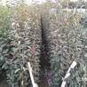 水晶梨树苗种植间距多少