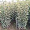 红香酥梨苗几月份种植成活率高