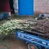 4公分黄冠梨树苗现在发展趋势