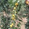 17公分杏树苗17公分杏树苗怎么辨别品种真假