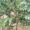 3公分杏树苗3公分杏树苗价格