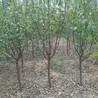 3公分凯特杏树3公分凯特杏树量大从优