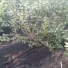 莱格西蓝莓苗怎么辨别品种真假