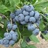 达柔蓝莓苗厂家出售