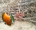 鹅黄柿柿子树苗主产区欢迎您订购热线