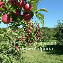 脫毒蘋果樹苗口碑推薦、宜昌脫毒蘋果樹苗圖片