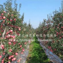 七月天仙苹果树苗市场前景、湘西七月天仙苹果树苗图片