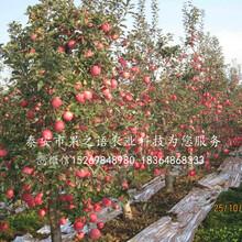 1和记娱乐注册分苹果树种植技巧、诸城1和记娱乐注册分苹果树图片