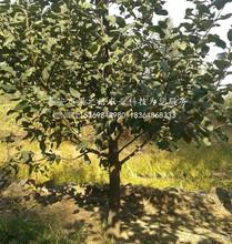 華美蘋果樹苗新品種新價格、陽江華美蘋果樹苗圖片