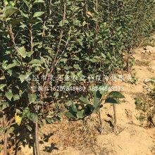 7公分蘋果樹苗多少錢一株、濱州7公分蘋果樹苗圖片