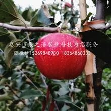 龙丰苹果苗求购信息、抚顺龙丰苹果苗图片
