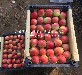 信浓红苹果树价格怎么样、霍邱信浓红苹果树