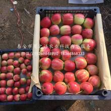 矮化苹果苗种植基地、邢台矮化苹果苗图片