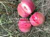 红嘎啦苹果树制造商值得信赖、黄?#33014;?#22030;啦苹果树