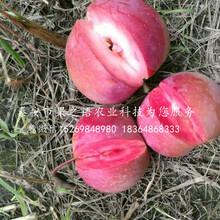 陆奥苹果树详情、汕头陆奥苹果树图片