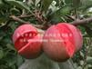 9公分蘋果樹苗什么樹形,確保達到穩產、克孜勒蘇柯爾克孜9公分蘋果樹苗