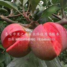 脫毒蘋果樹質量好的、果洛脫毒蘋果樹圖片