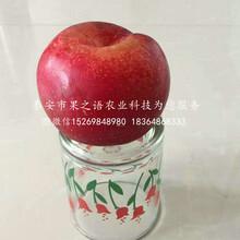 脫毒蘋果苗哪里價格低、日喀則脫毒蘋果苗圖片