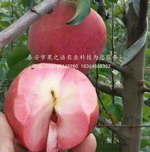 靜香蘋果樹哪里的質量好、淮北靜香蘋果樹圖片